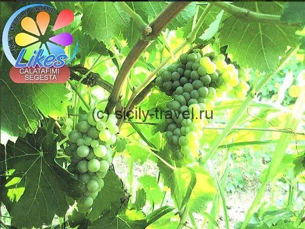 Виноградники Алькамо