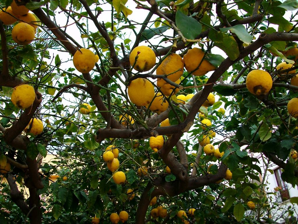 Сицилийские лимоны